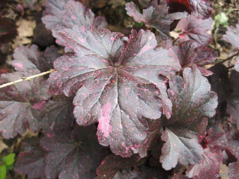 Dlužicha Midnight Rose (Heuchera)