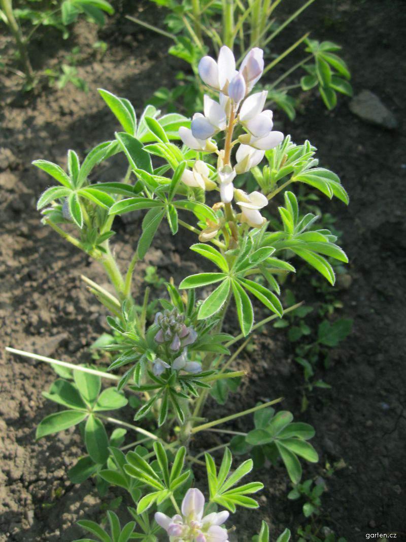 Lupina bílá (Lupinus albus)