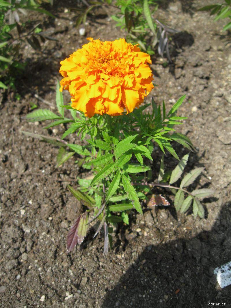 Aksamitník vzpřímený Orange Lady (Tagetes erecta nana)