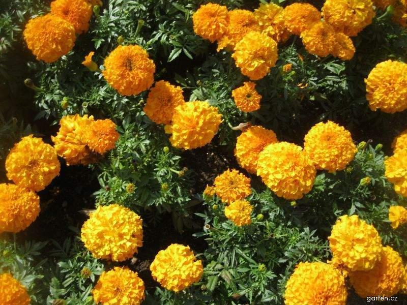Aksamitník vzpřímený Antiqua Orange (Tagetes erecta nana)