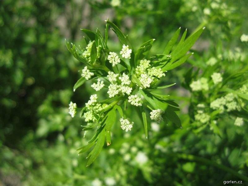 Celer řapíkatý (Apium graveolens var dulce)