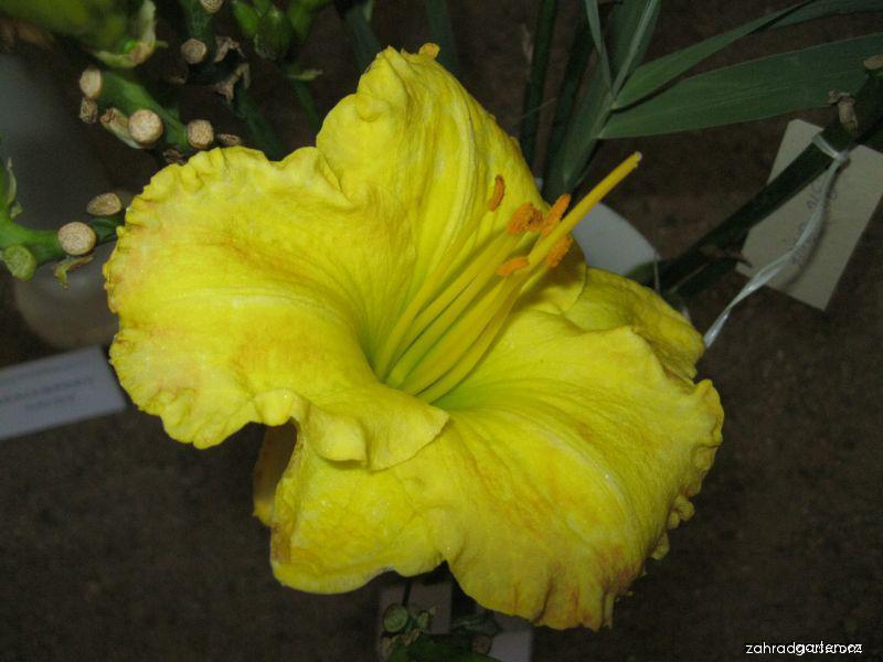 Denivka Big Smile (Hemerocallis hybrida)