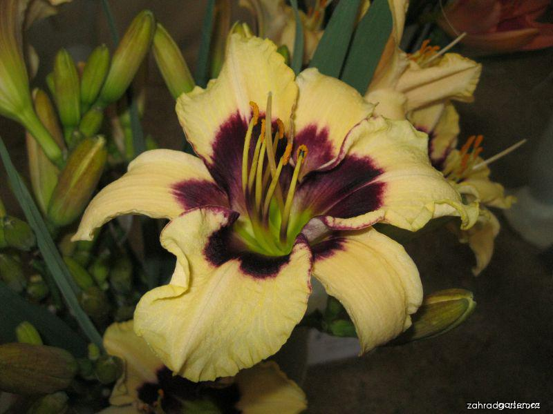 Denivka Piano Man (Hemerocallis hybrida)