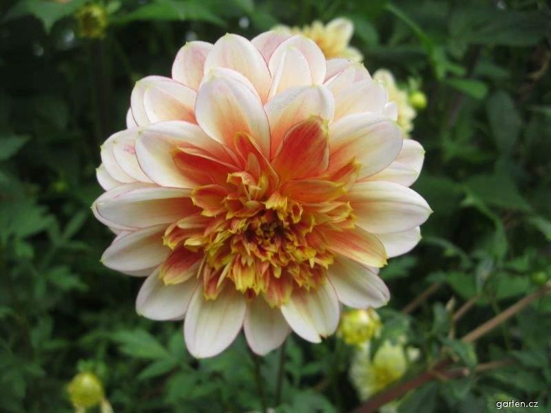 Jiřina Centennial (Dahlia pinnata)