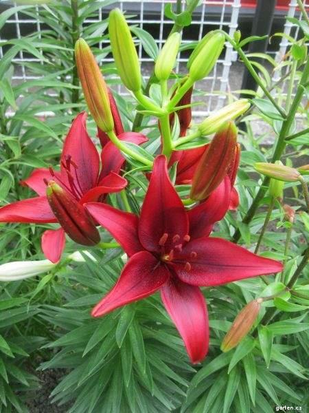 Lilie Black Out - Asijský hybrid (Lilium x hybridum)