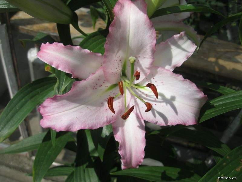Lilie Brasilia - Orientální hybrid (Lilium x hybridum)