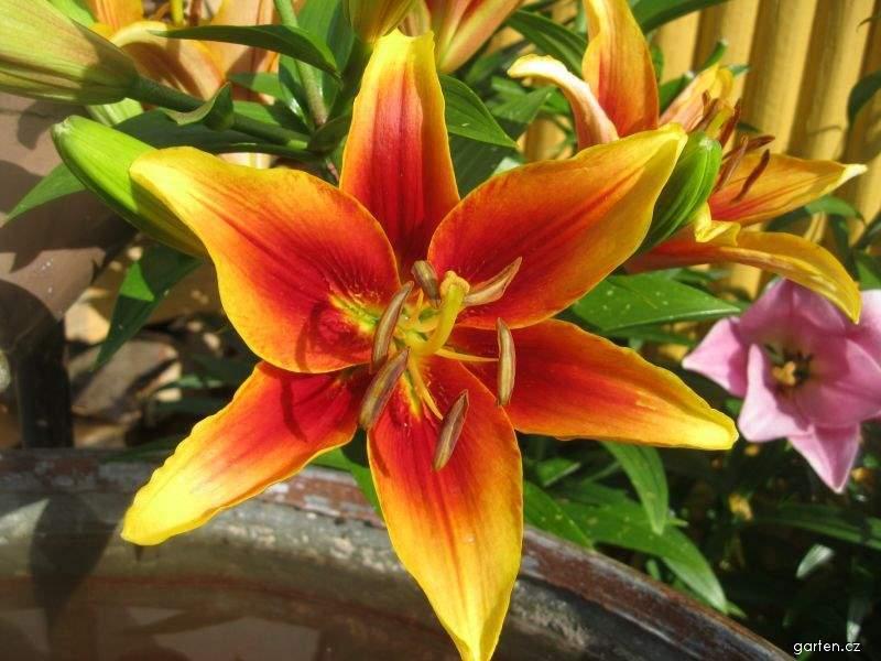 Lilie Kaveri - AO hybridy (Lilium x hybridum)