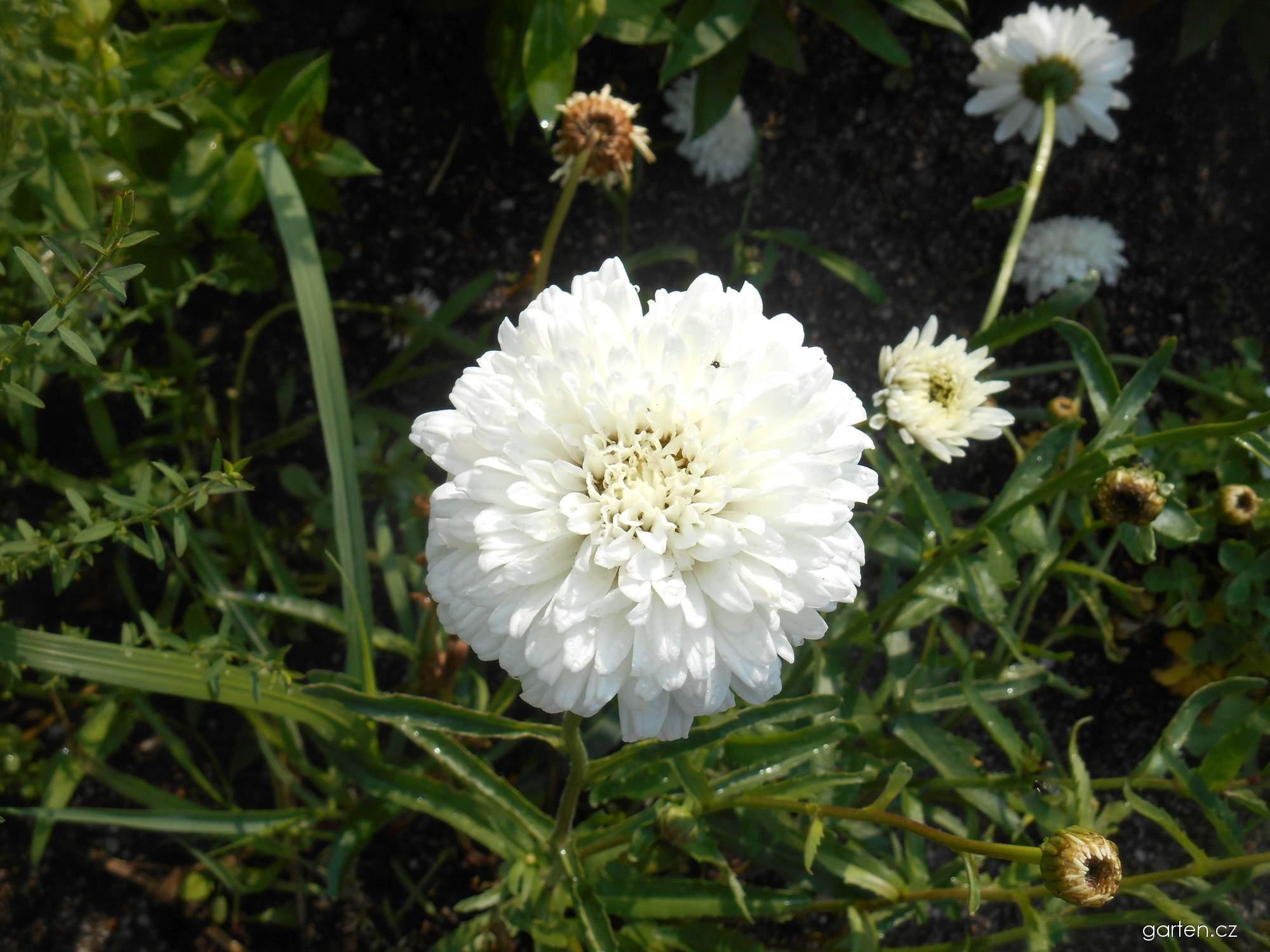 Kopretina Horace Read (Leucanthemum x superbum)