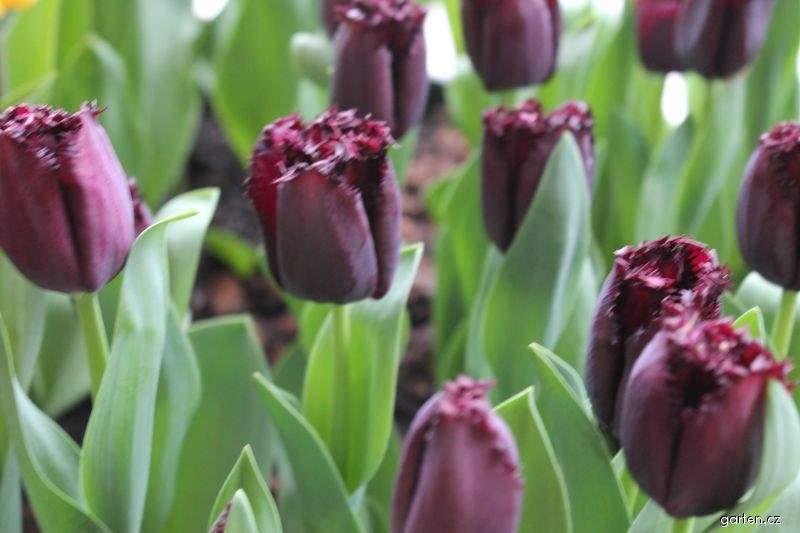 Tulipán Labrador (Tulipa x hybrida)