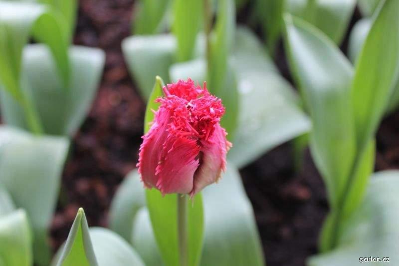 Tulipán Barbados (Tulipa x hybrida)