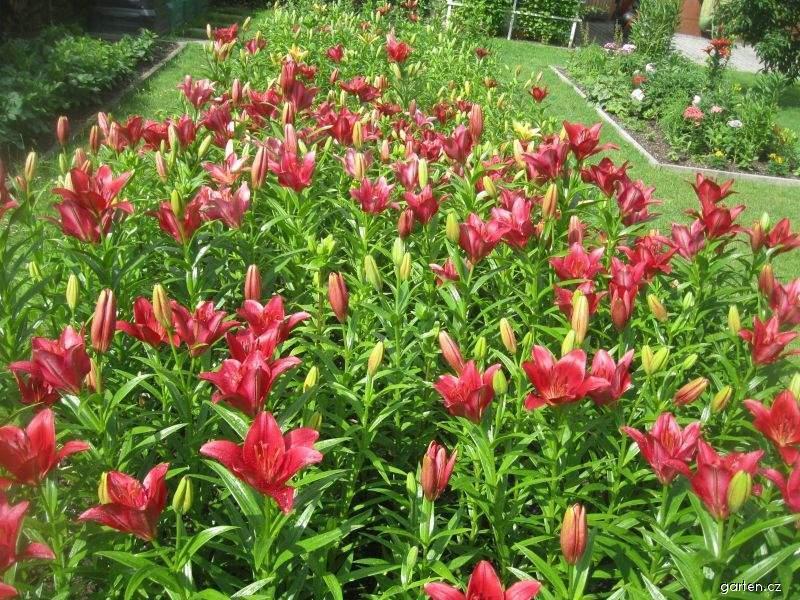 Lilie Red Label - LA hybridy (Lilium x hybridum)