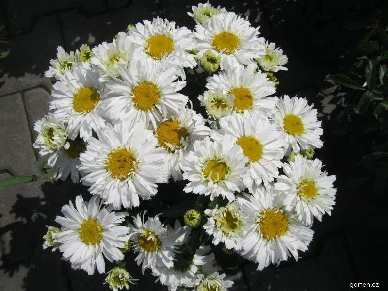 Kopretina Freak (Leucanthemum x superbum)