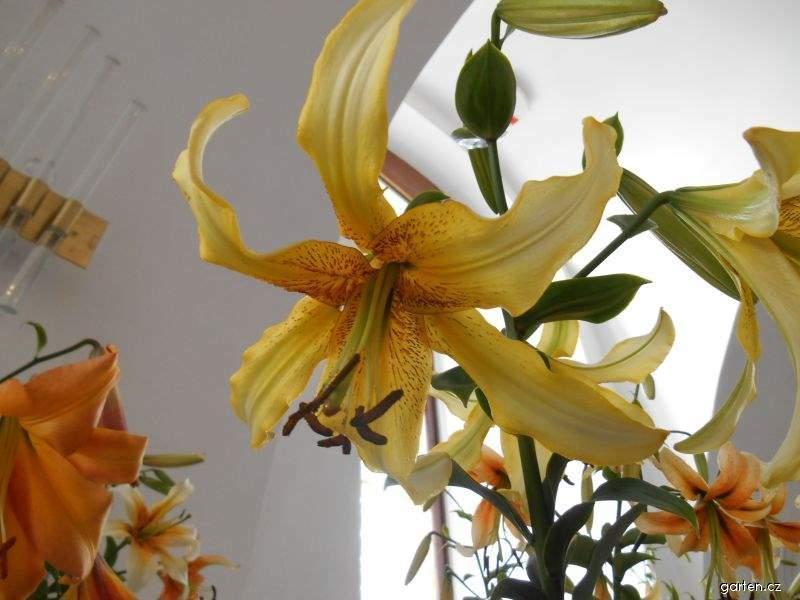 Lilie (Lilium)