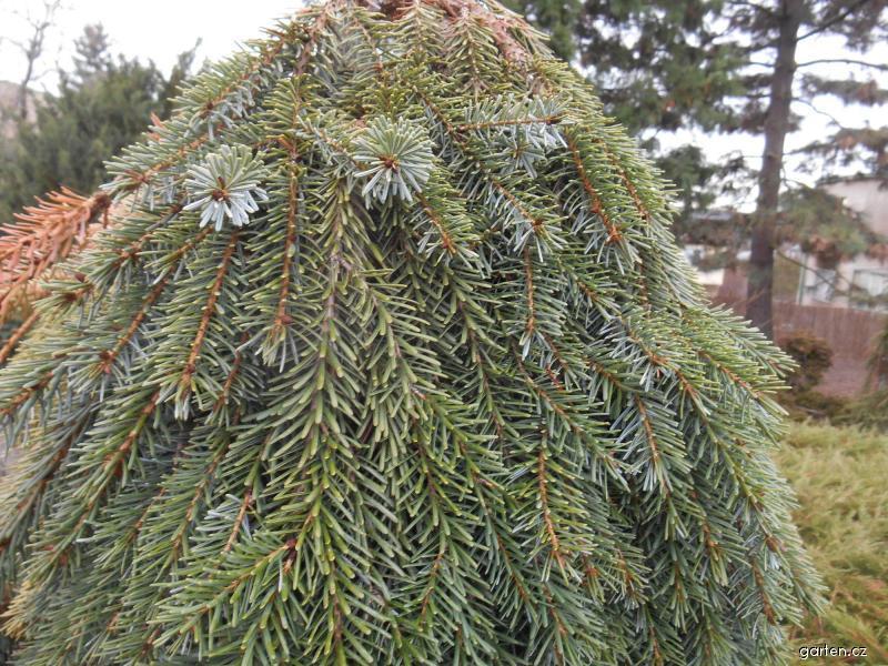 Smrk omorika (Picea omorica Pendula Bruns)