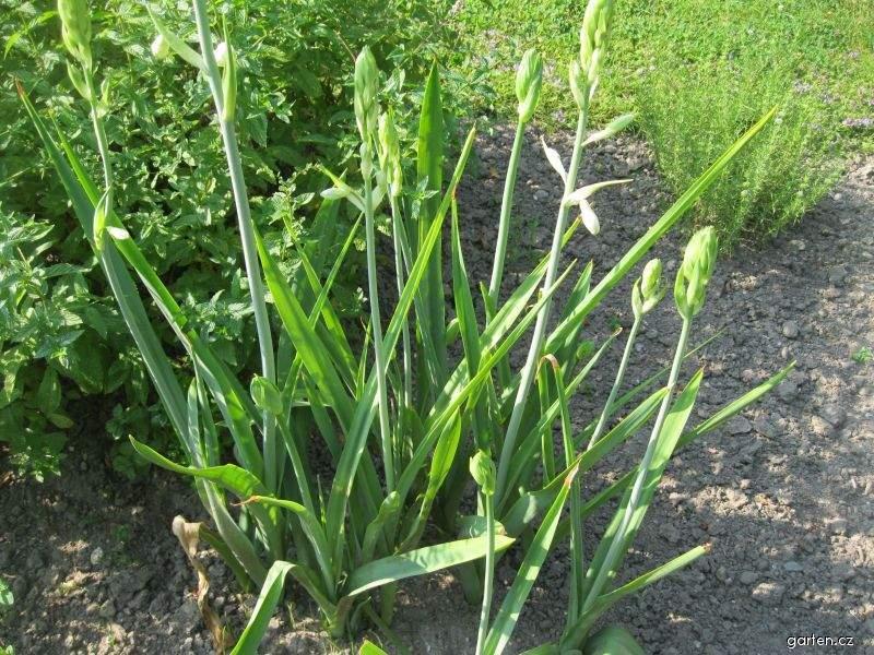 Bělokvět hlíznatý (Polianthes tuberosa)