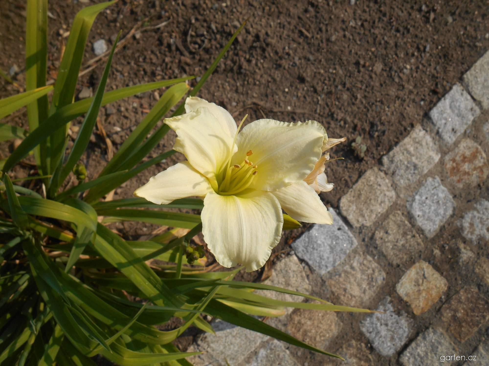 Denivka (Hemerocallis)
