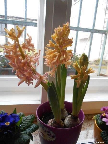 Hyacint východní Gipsy Queen (Hyacinthus orientalis)