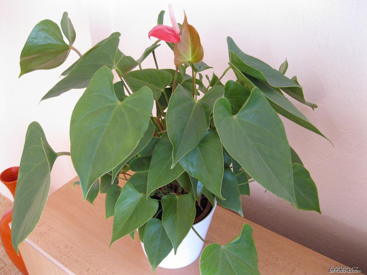 Toulitka Andréova (Anthurium andreanum)