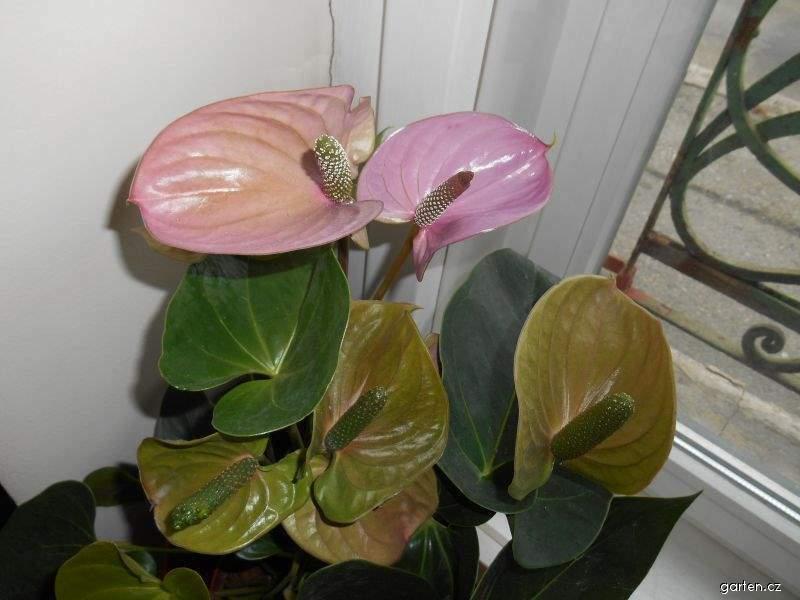 Toulitka (Anthurium)