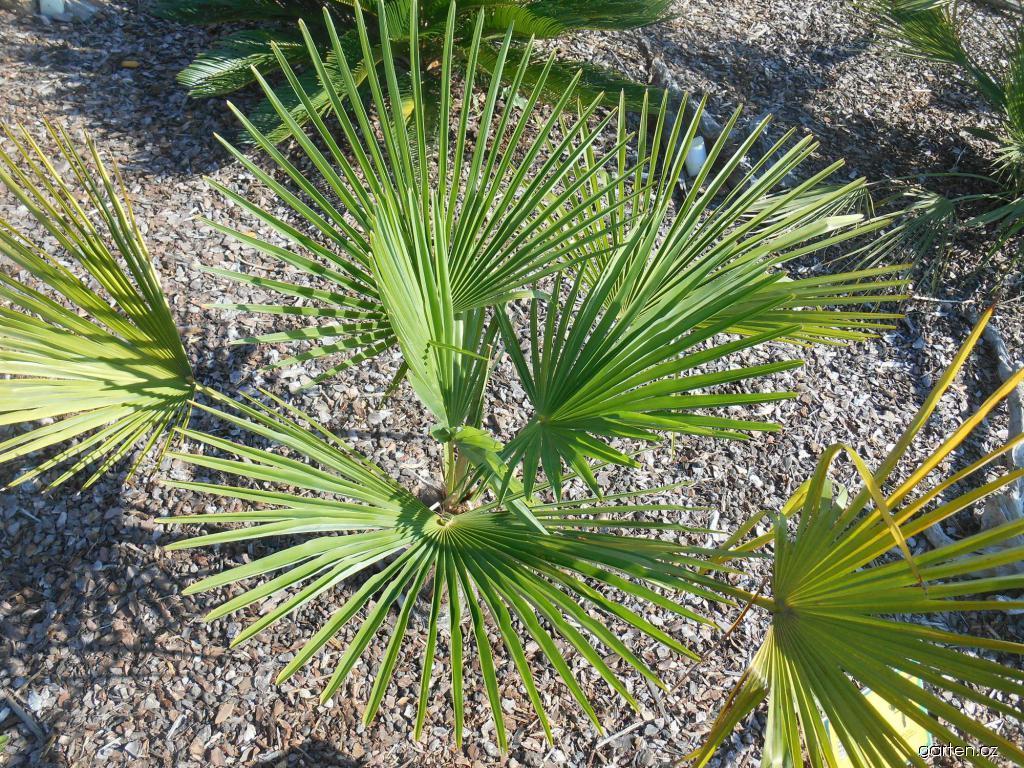 Palma (Trachycarpus fortunei)