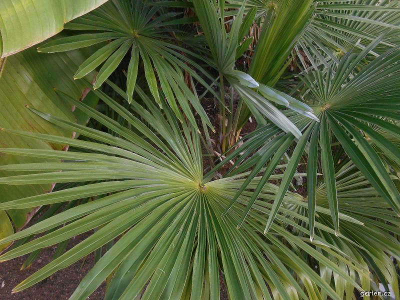Žumara ztepilá (Trachycarpus fortunei)
