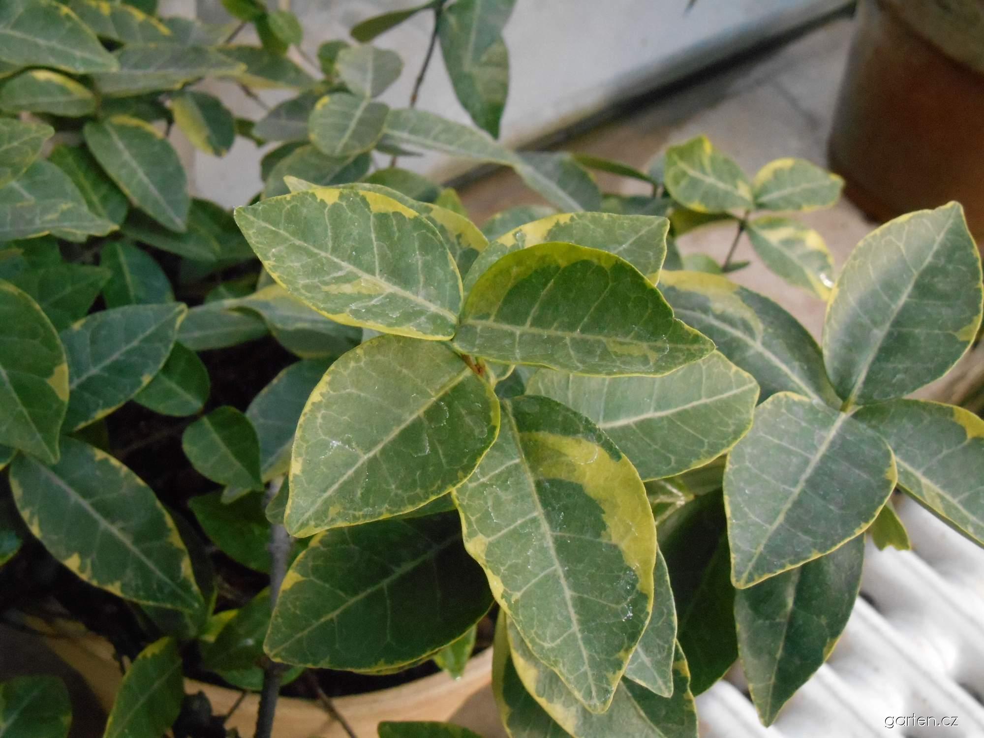 Jasmínovník vonný Variegata (Trachelospermum jasminoides)