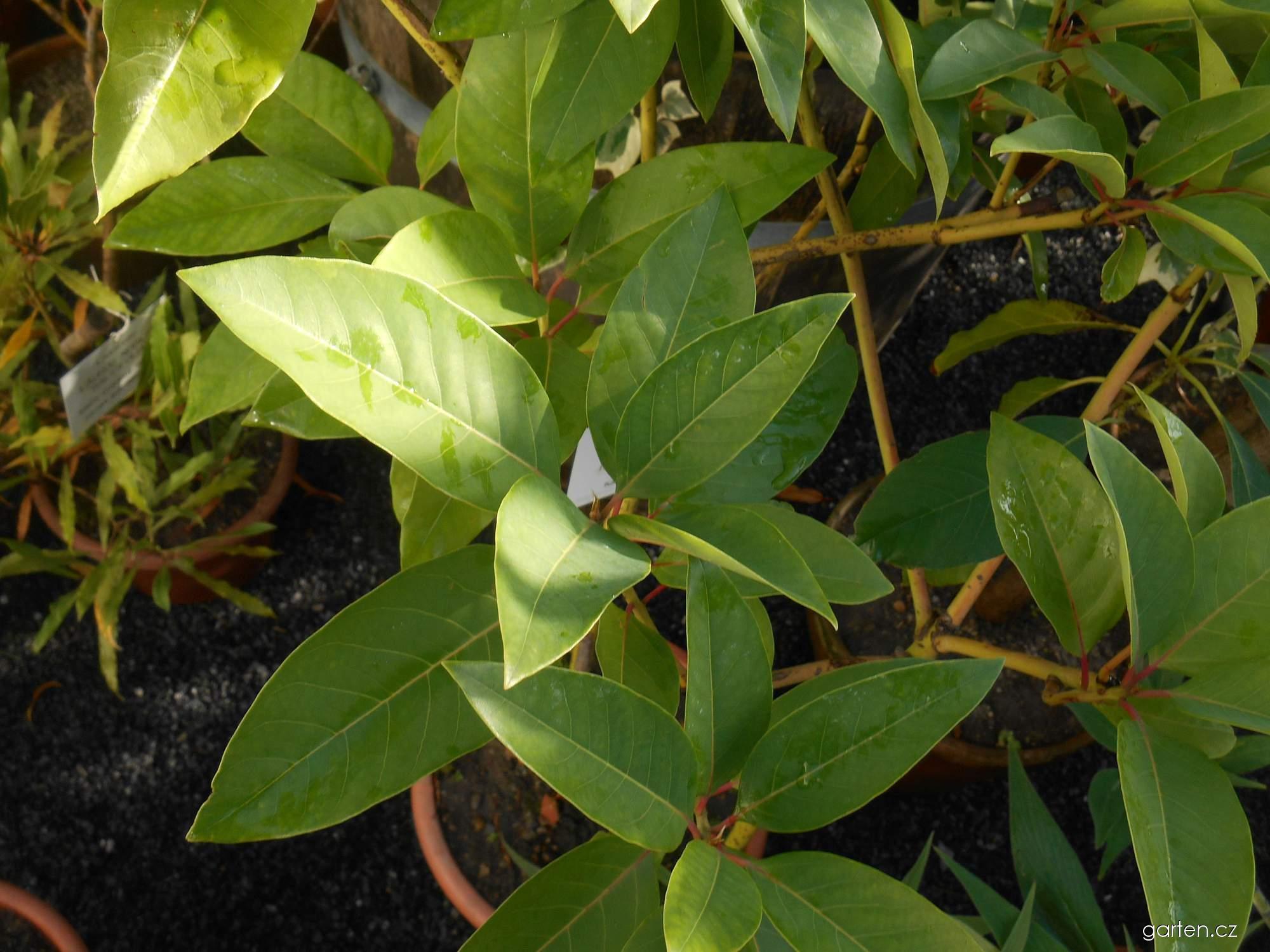 Hruškovec indický (Persea indica)