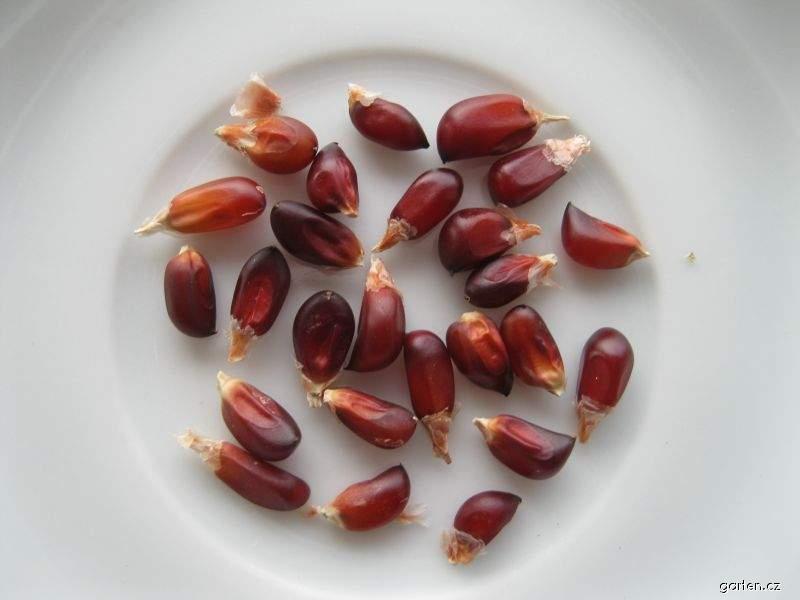 Kukuřice jahodová - semena (Zea mays multicolor)