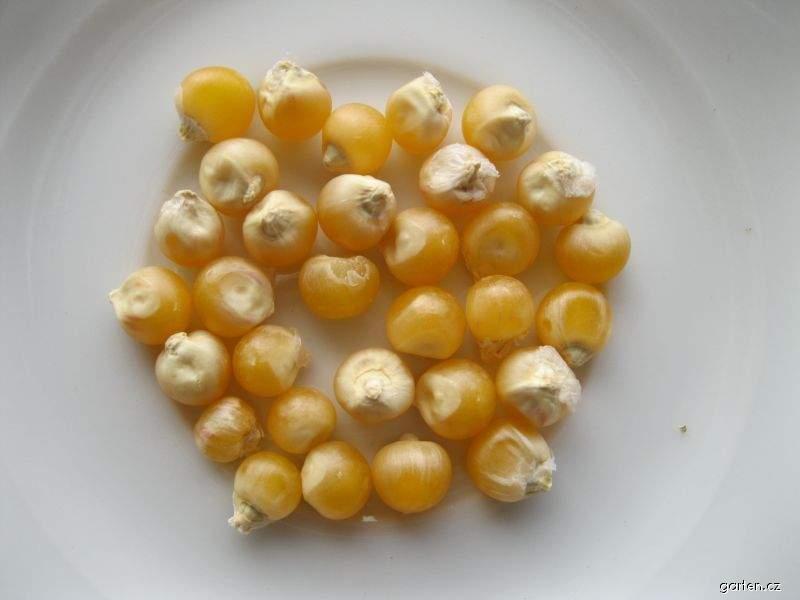 Kukuřice pukancová - semena (Zea mays convar everta)