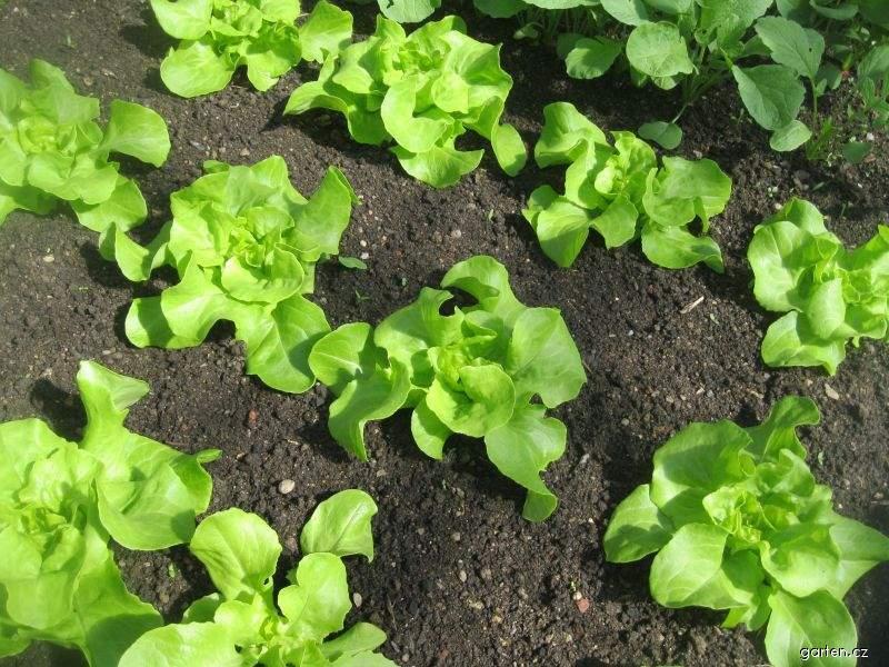 Salát hlávkový (Lactuca sativa var capitata)