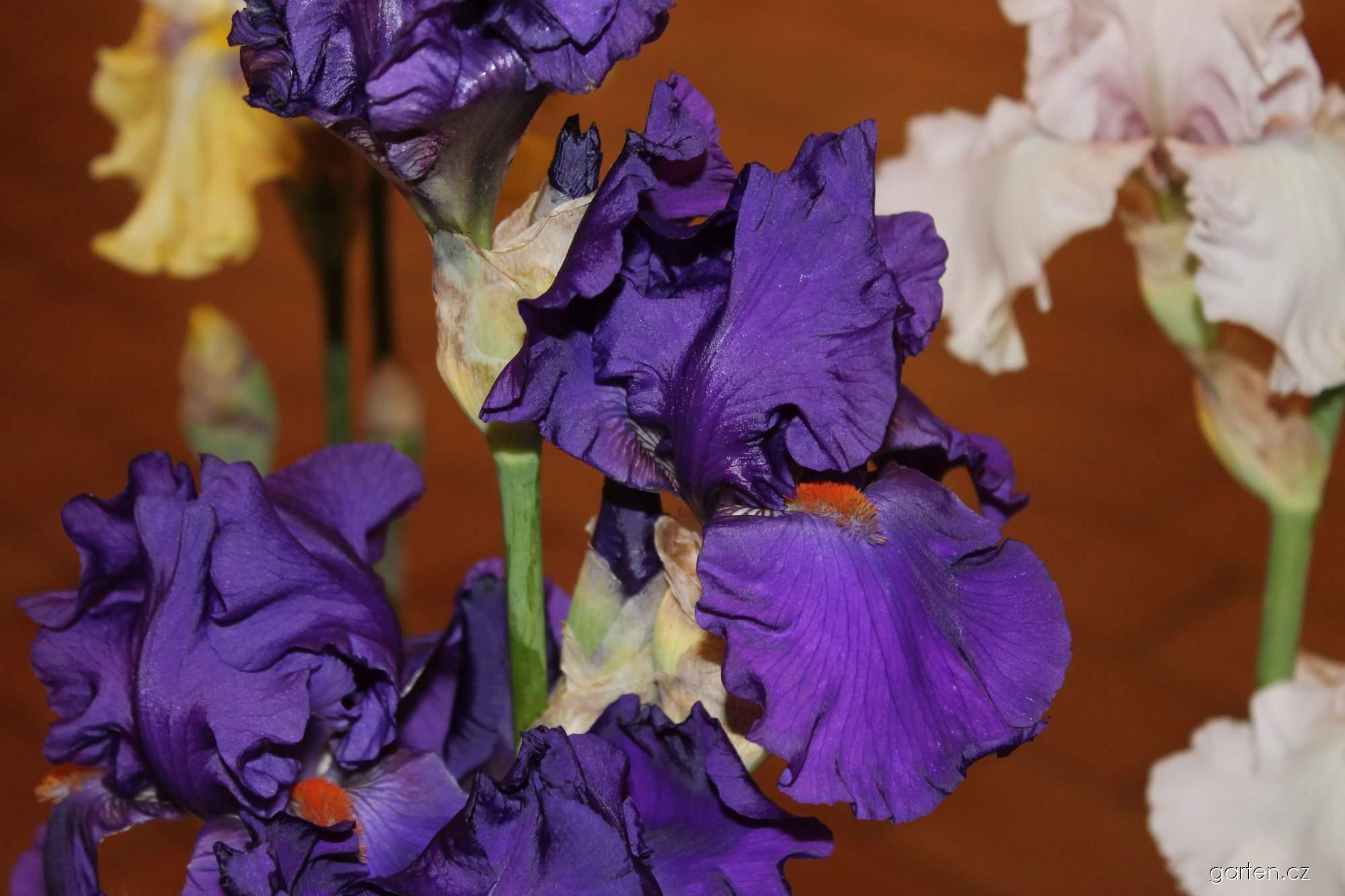 Kosatec zahradní Paul Black (Iris barbata)