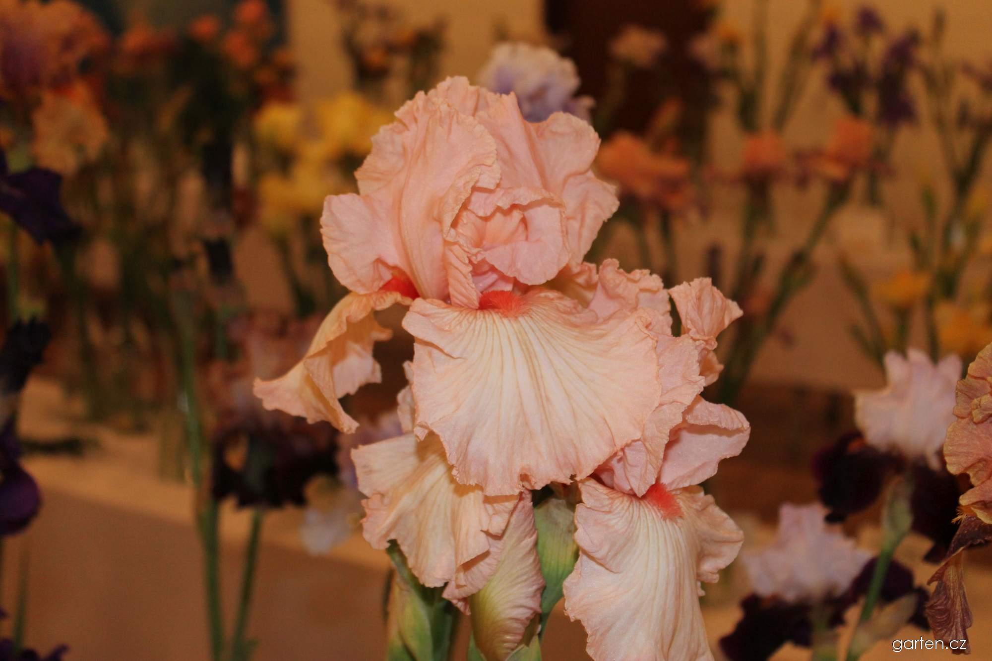 Kosatec zahradní Peppermint Cream (Iris barbata)