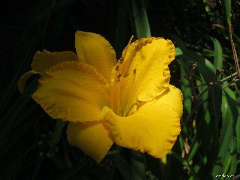Denivka Golden Tycoon (Hemerocallis hybrida)