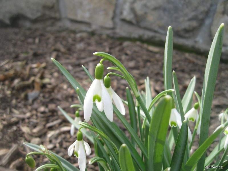 Sněženka (Galanthus)