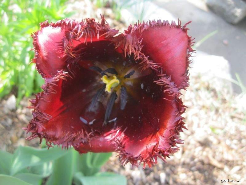 Tulipán Curly Sue - Třepenité tulipány (Tulipa x hybrida)