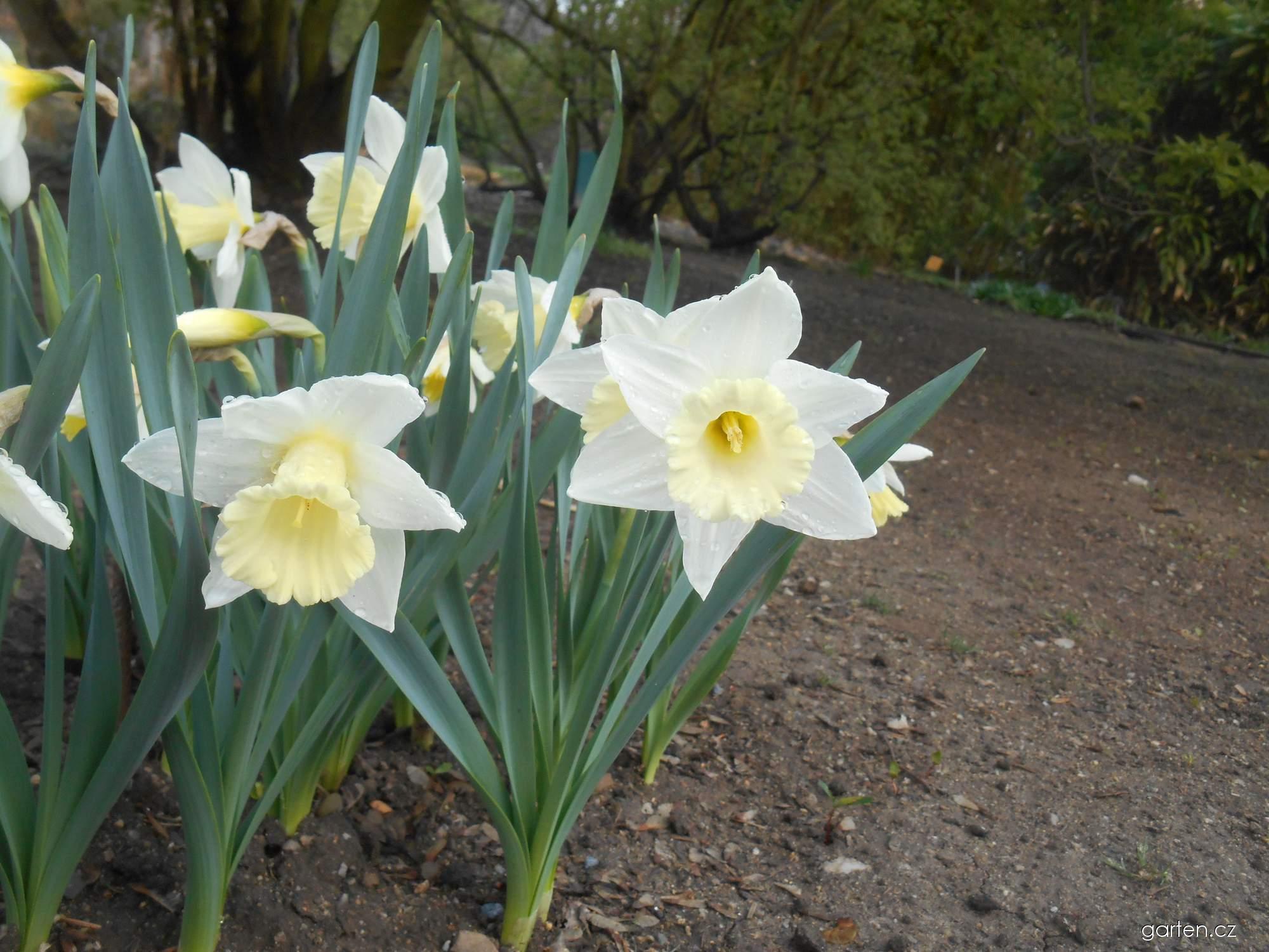 Narcis Mount Hood - Trubkovité narcisy (Narcissus x hybridus)