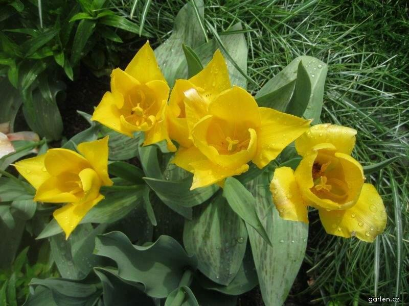 Tulipán Chopin - Kaufmanniana tulipány (Tulipa kaufmanniana)