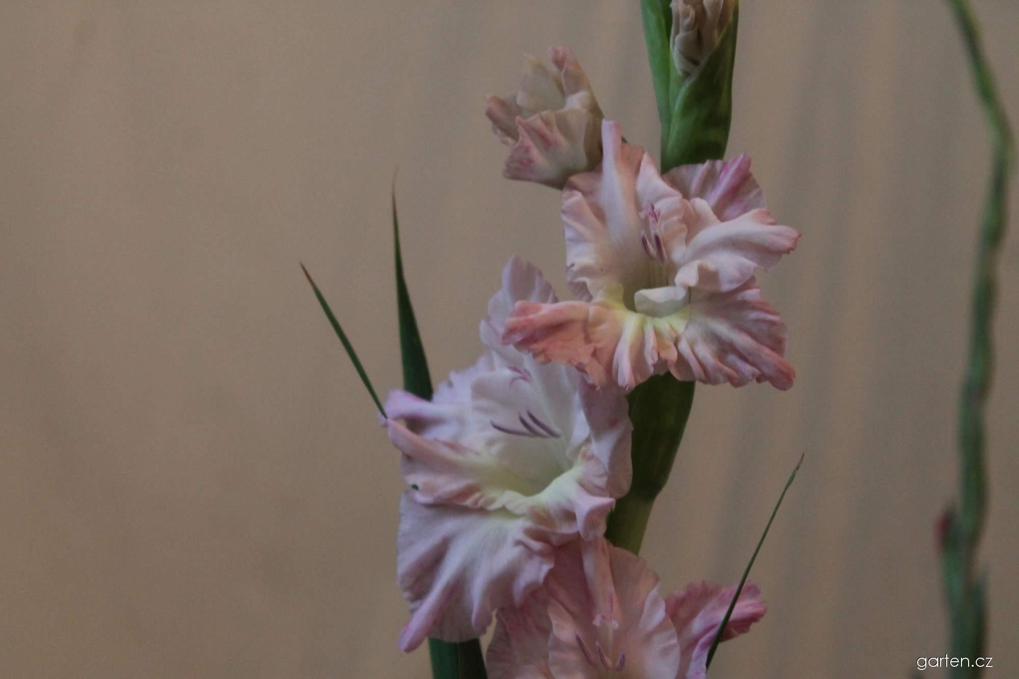 Mečík zahradní Růžový sad (Gladiolus hortulanus)