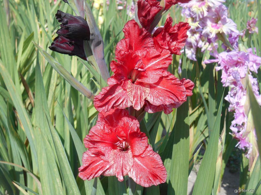 Mečík zahradní Hestia (Gladiolus hortulanus)