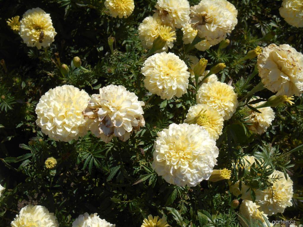 Aksamitník vzpřímený nízký Vanilla (Tagetes erecta nana)