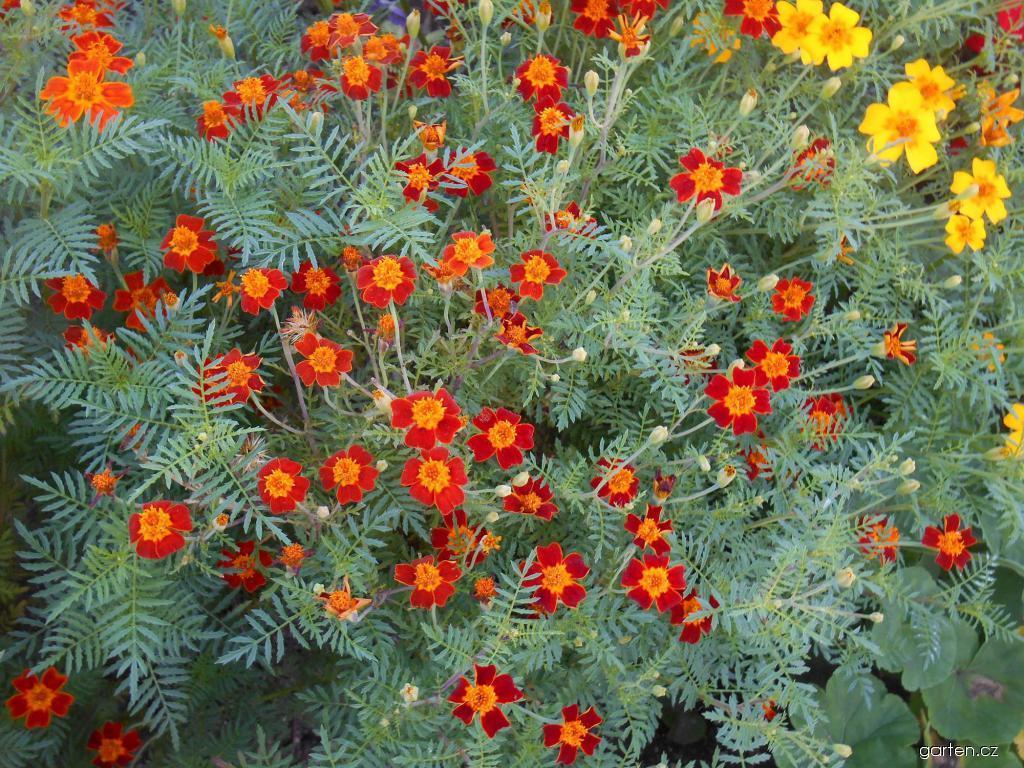 Aksamitník jemnolistý (Tagetes tenuifolia)