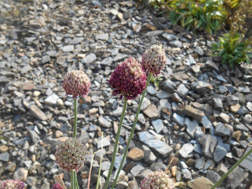 Česnek kulatohlavý (Allium sphaerocephalon)