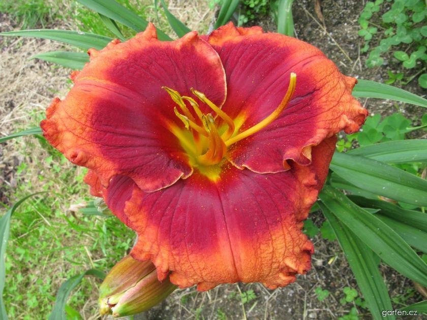 Denivka Orange City (Hemerocallis hybrida)