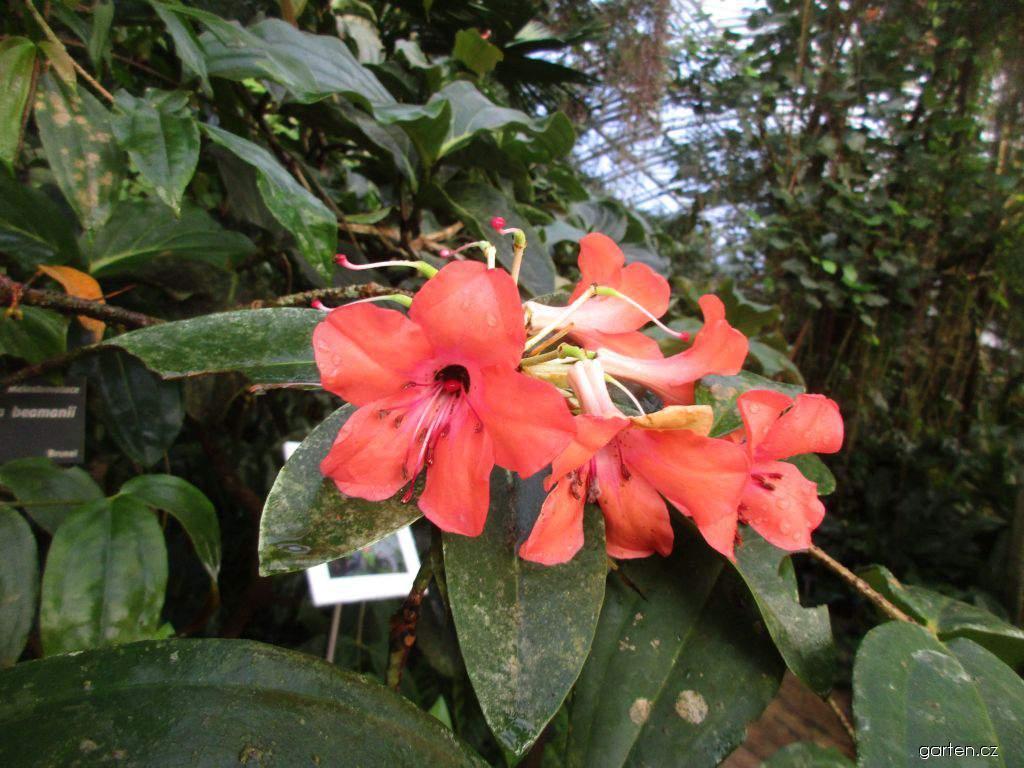 Rododendron (Rhododendron javanicum)