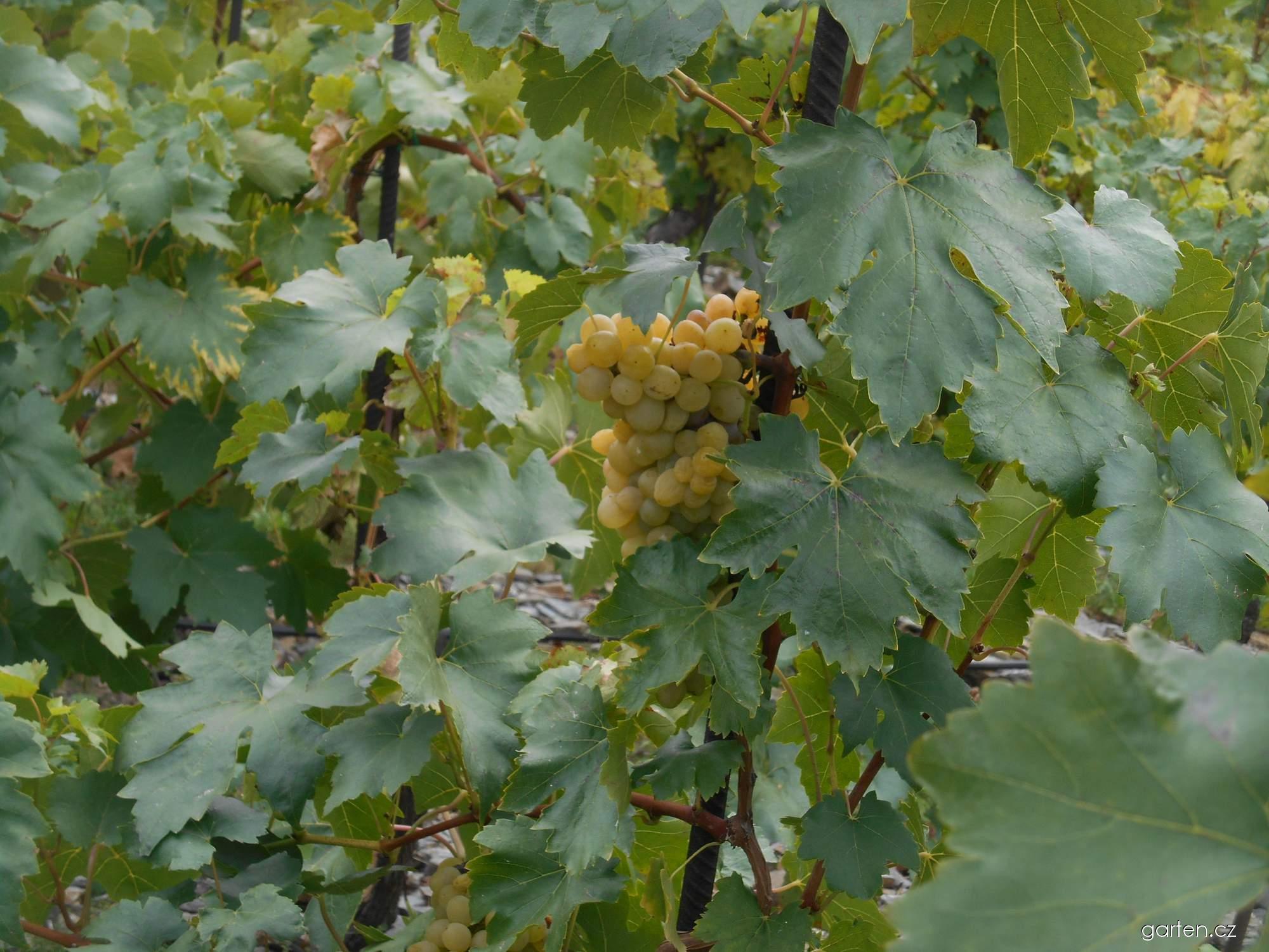Réva vinná Áron (Vitis vinifera)