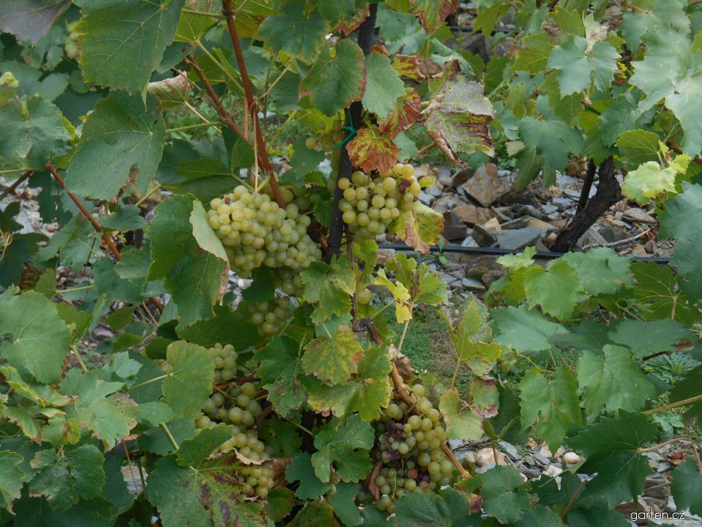 Réva vinná Moly (Vitis vinifera)