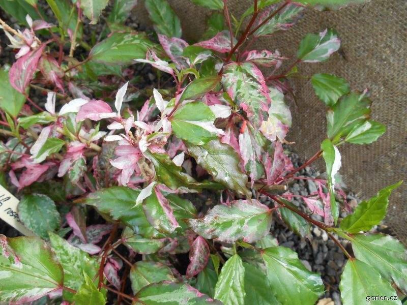 Ibišek čínská růže Cooperi (Hibiscus rosa sinensis)