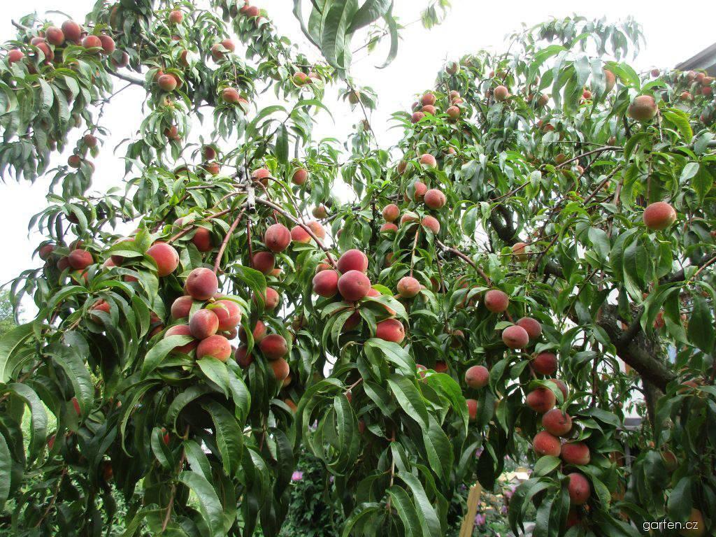 Broskvoň Redhaven (Prunus persica)