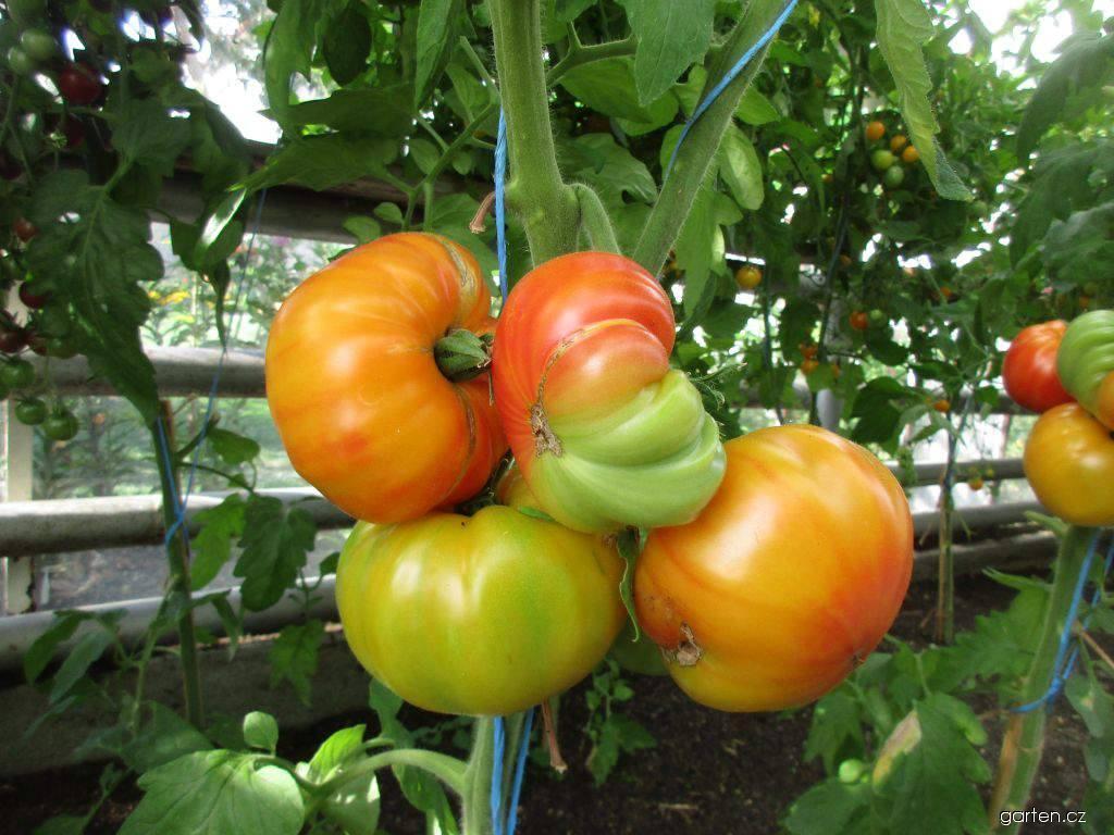 Rajče jedlé Ananas - tyčkové rajče (Solanum lycopersicum)
