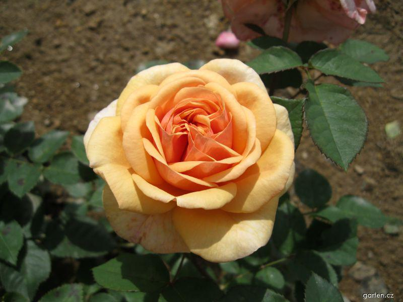 Růže Charles Austin (Rosa sp)
